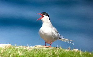 Birdwatching Holiday - Coll and Tiree in Summer