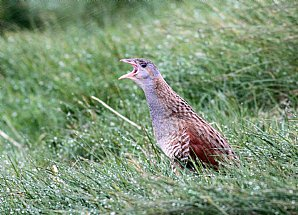 NEW! Highlands and Corncrake