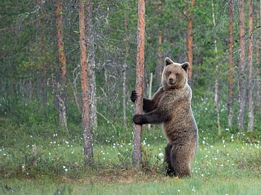 Birdwatching Holiday - NEW! Finland - Wolverines and Bears