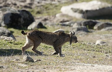 Spain - Birding and Lynx, Andujar plus Coto Donana