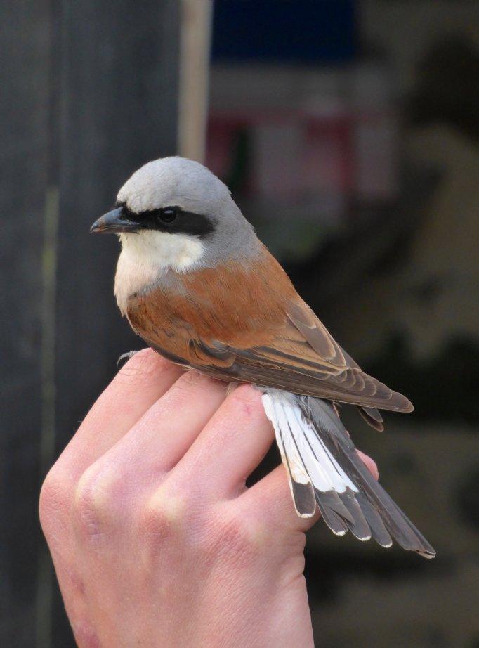 NEW! Fair Isle in Spring | Brilliant birding on Britain's most ...