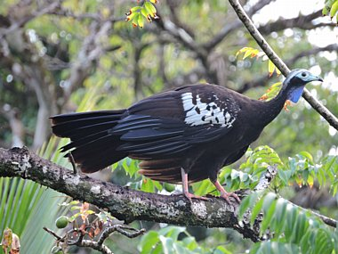Birdwatching Holiday - Trinidad, Tobago and St Lucia