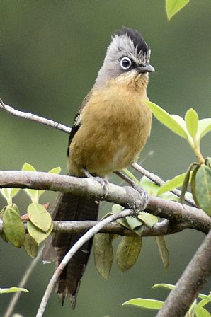 Black-crowned Barwing