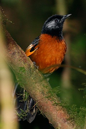 Collard Laughing-thrush