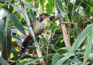 Chestnut-eared Laughing-thrush